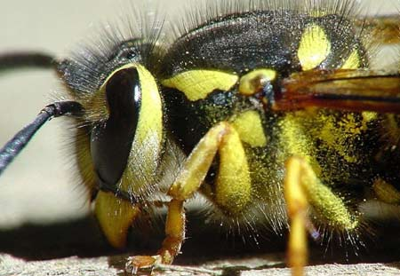 stinging insect control, yellowjackets in Cleveland, OH.