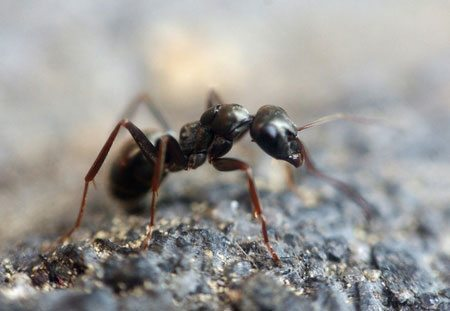 Controlling ants naturally with boric acid, vinegar, and essential oils.