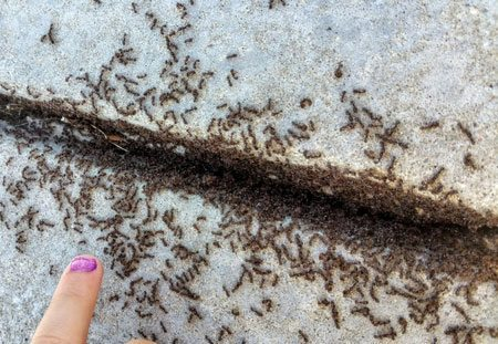 large ant colony underneath sidewalk in Lakewood, OH.