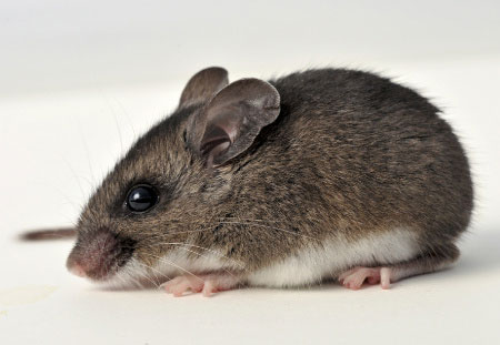 deer mouse portfolio picture.