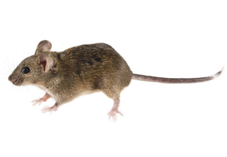 house mouse portfolio picture