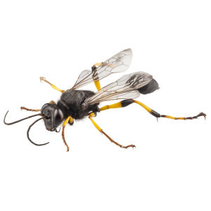 bees wasps and hornet control