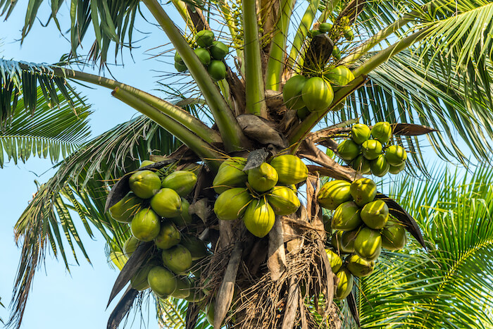 Canva – Beautiful Sweet coconut palm trees farm against blue sky in Tropical island Thailand. fresh coconut on trees-2
