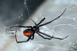 Spider Control - Greenville, NC 27858