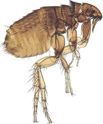 Flea Control - Flea Exterminating