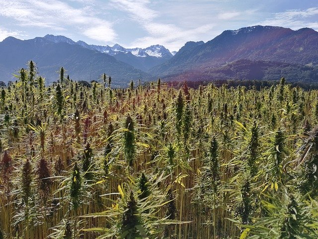 What Is Hemp Seed Oil? - What It's All About