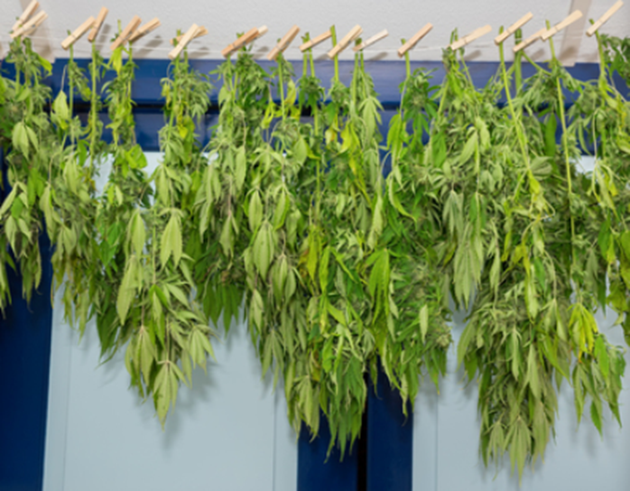Cannabis Growing: Flushing Before Harvest