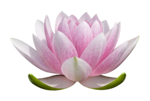 transparent-flower-lotus-2