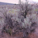 Photo of Wyoming Big Sagebrush