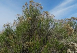 green rabbitbrush