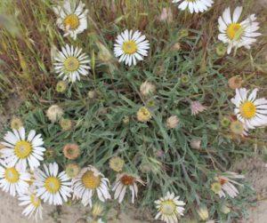 showy townsend daisy