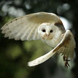 owlwhite