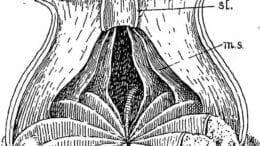 hydra species