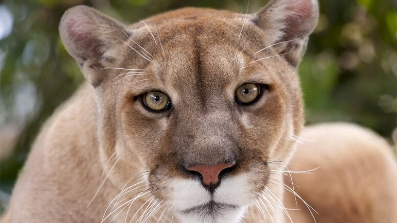 what's-the-difference-between-a-mountain-lion-and-a-cougar?