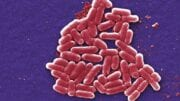 Pathogenic vibrio species
