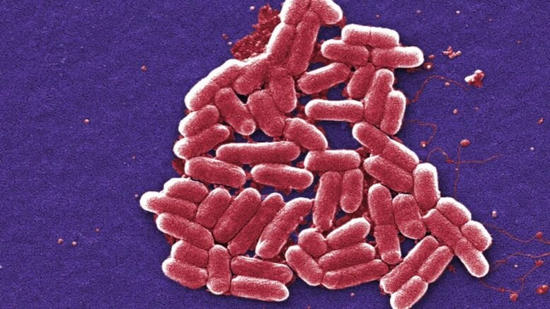Pathogenic vibrio species