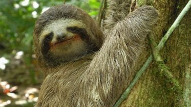 sloth is one of the sluggish animals known