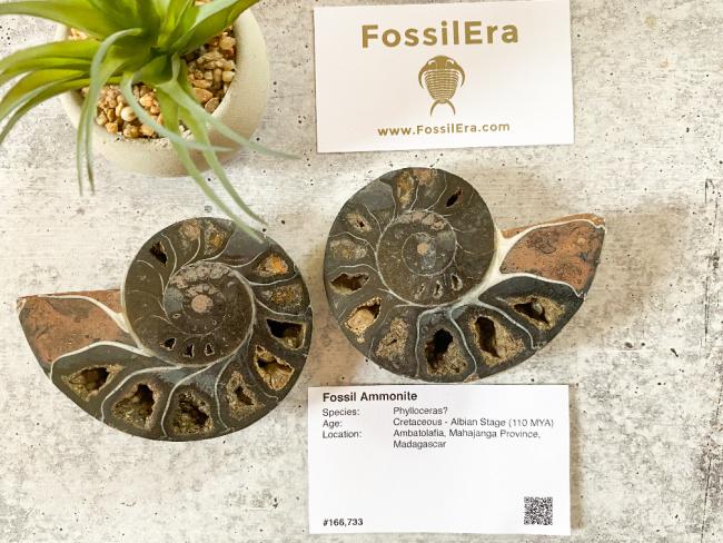 FossilEra Fossil Ammonite