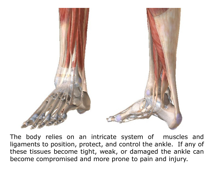ankle pain anatomy
