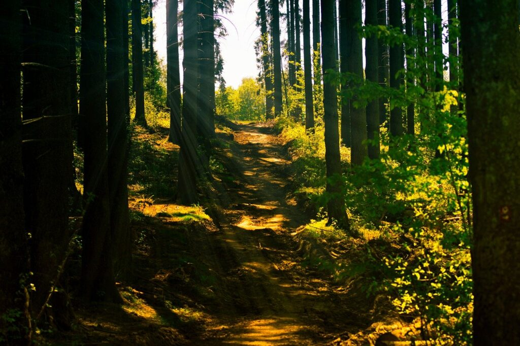 forest, forest path, sunlight