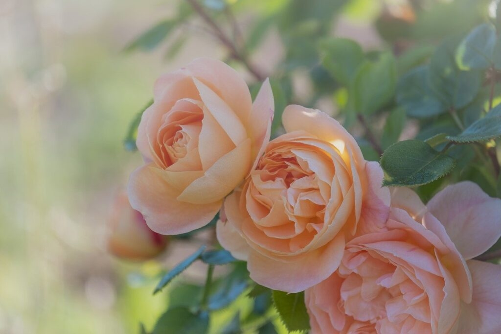 roses, bloom, flowering