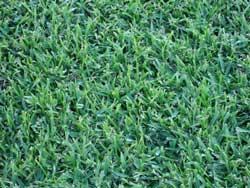 St. Augustine Grass Sod
