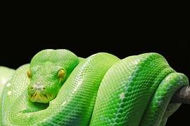 green-tree-python-543243__180