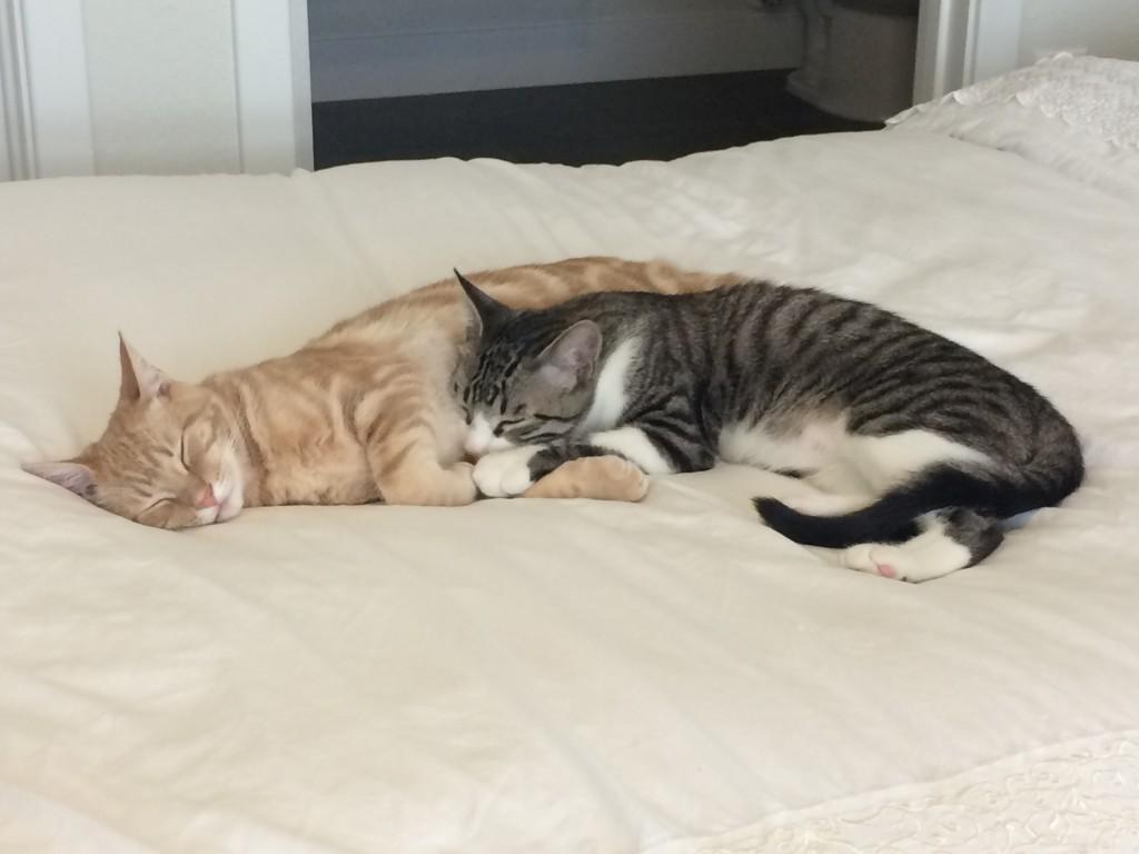 Orange kitten and grey striped and white kitten cuddling together sleeping