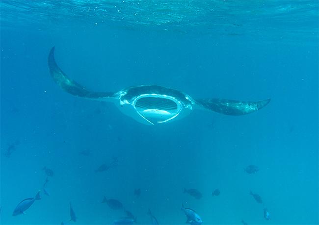 Manta Ray. Photo: Lady Elliot Eco Island Resort