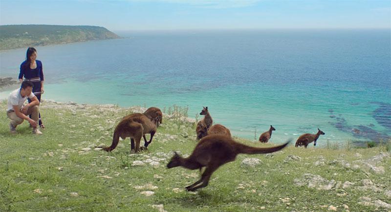 Kangaroos on a headland