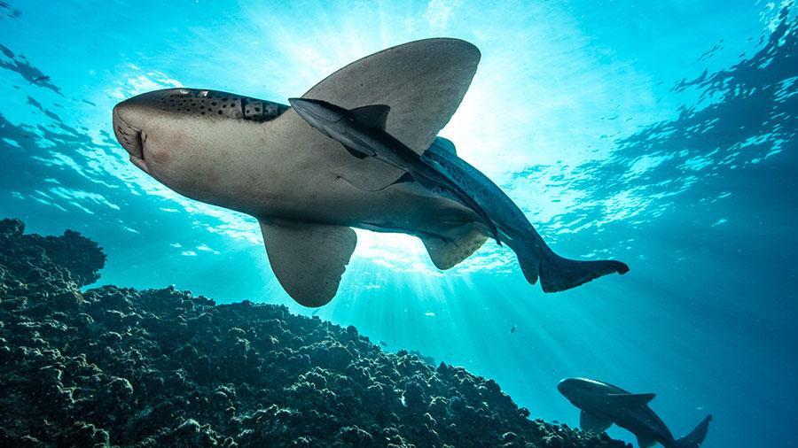 Leopard Sharks. Credit: David Robinson