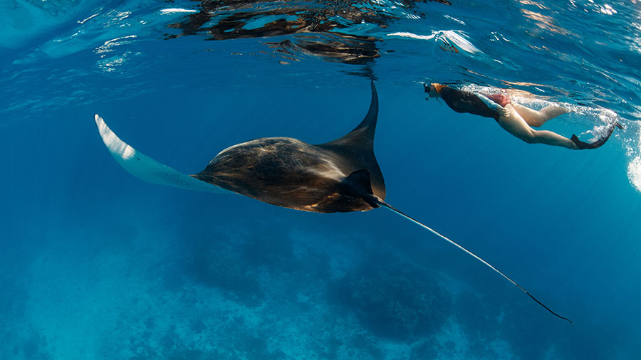 Snorkelling with a manta ray at Lady Musgrave. Credit: Tracy Olive