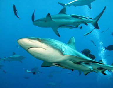Sharks at Osprey Reef. Credit: Deborah Dickson-Smith