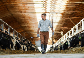 Man walking past milking cows
