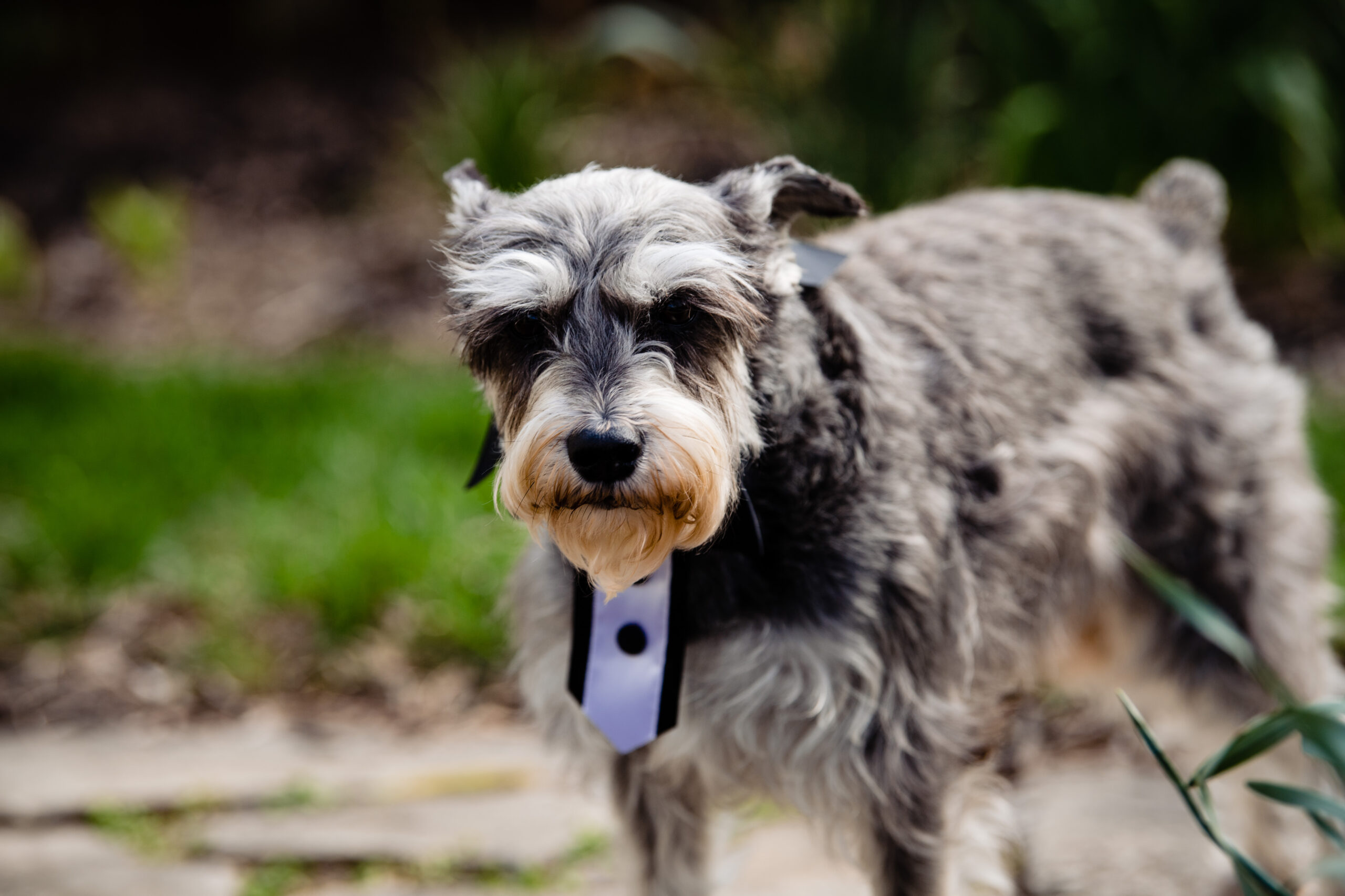 This little doggie is the ring bearer for the COVID ceremony in Columbus, Ohio.