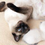 mastitis in cats