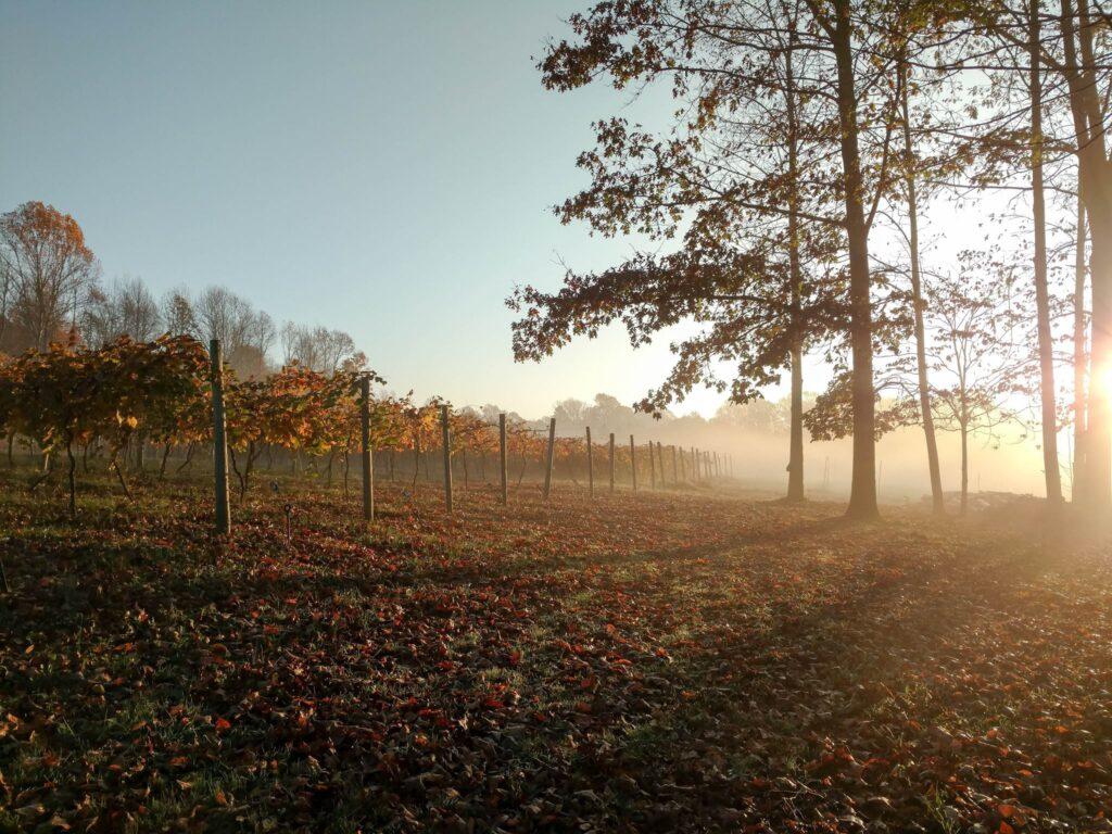 Our Vineyard - Block #1