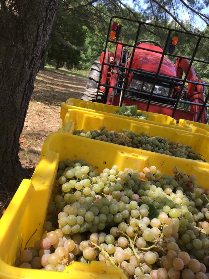 White grapes being transported