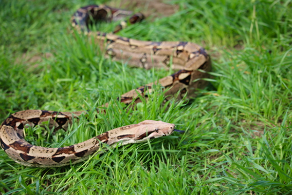 Red-tailed Boa, snake, birthday party