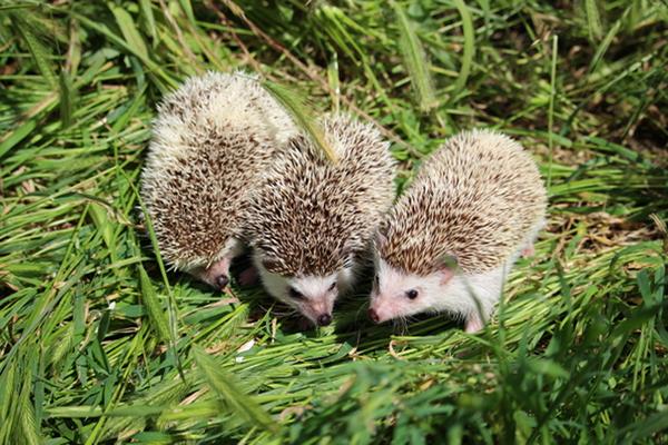 Hedgehog, Sonic