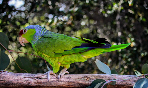 Lilac Crested Amazon Parrot