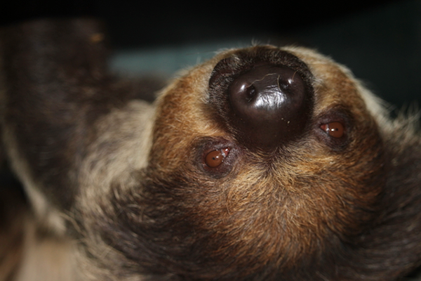 Paco the Sloth