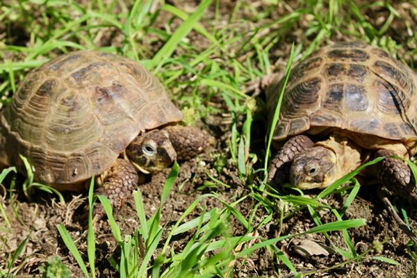 Russian Tortoises