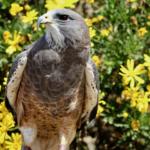 Tahoe - Hawk