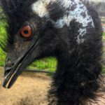 Louie the Emu