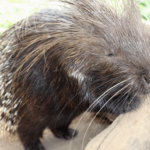 Quillo the African Crested Porcupine