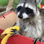 Rocket the Raccoon