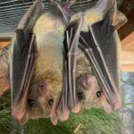Peanut Butter & Jelly - Egyptian Fruit Bats