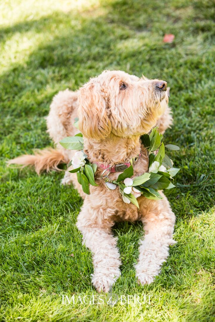 This puppy looked simply adorable with a greenery wreath around his neck for this outdoor wedding we planned!