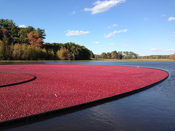 Cape Cod Cranberry Growers' Association Forecasts 2016 Cranberry Crop